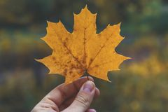 Dry autumn leaf in the hand of man at the beautiful forest background. Picturesque nature. Autumn mood. Vintage composition. Maple leaf stock photo