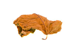 Dry autumn leaf isolated on white background Royalty Free Stock Photos