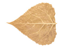 Dry Autumn Leaf Isolated Royalty Free Stock Photography
