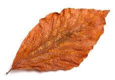 Dry autumn leaf of magnolia on white background Royalty Free Stock Image