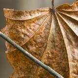 Dry autumn leaf Royalty Free Stock Image