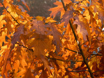 Dry autumn leaf stuck Stock Images