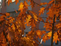 Dry autumn leaf stuck - beautiful background Royalty Free Stock Photos