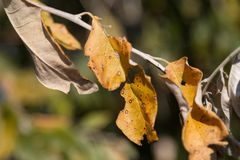 Dry autumn leaf stuck Royalty Free Stock Images