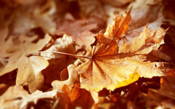 Dry autumn leaf Royalty Free Stock Photos