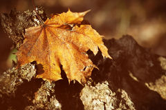 Dry autumn leaf Royalty Free Stock Photography