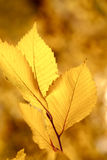 Dry autumn leaf stuck Royalty Free Stock Image