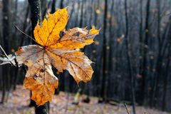 Dry autumn leaf Royalty Free Stock Image