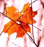 Dry autumn leaf stuck in forest Royalty Free Stock Photos