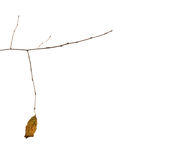 Dry autumn leaf of a tree weighs a bare branch. On a white background Royalty Free Stock Image