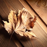 Dry autumn leaf Stock Photography