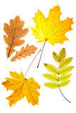 Dry autumn leaves Stock Photos
