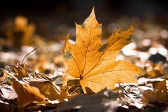 Dry autumn leaves. Warm colors of Autumn. Maple leaves covering the ground Royalty Free Stock Image