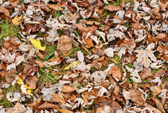 Dry autumn leaves Stock Image