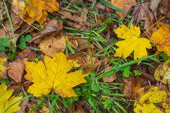 Dry autumn leaves background Royalty Free Stock Photography