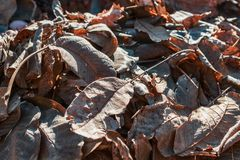 Dry autumn leaves in brown tones. Close-up. Background royalty free stock photo