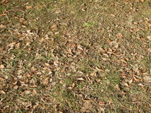 Dry  autumn leaves fallen on the grass Stock Image