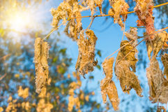 Dry autumn leaves frozen on the branches. Early autumn cold, sunny morning Stock Photo