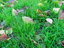 Dry autumn leaves on a green grass close up. Fallen autumn leaves on bright grass in the park close up Stock Images