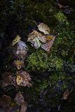 Dry autumn leaves on green moss in dark forest Royalty Free Stock Photography