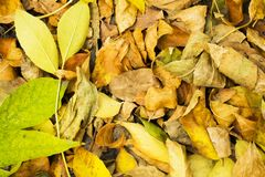 Dry autumn leaves on the ground. A lot of dry autumn leaves on the ground in a park Royalty Free Stock Image