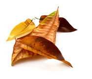 Dry autumn leaves isolate on White background. Dry autumn leaves on White background Royalty Free Stock Photos