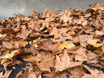 Dry autumn leaves of London planetree lies in the street against Stock Photography