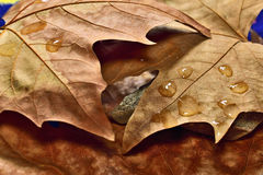 Dry autumn leaves. With raindrops Stock Images