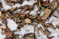 Dry autumn leaves in the snow Royalty Free Stock Images
