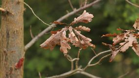 Autumn tree leaves. Dry autumn leaves on a tree branch, pleasant forest walk stock video