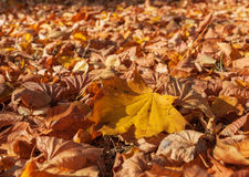 Dry autumn leaves Royalty Free Stock Photo