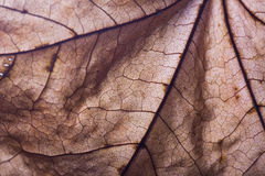 Dry autumn maple leaf closeup.  Abstract background Royalty Free Stock Photo