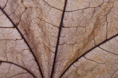 Dry autumn maple leaf closeup.  Abstract background Royalty Free Stock Photos