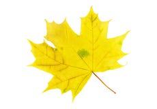 Dry autumn maple leaf Stock Photos