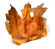Dry autumn maple leaf on white background Royalty Free Stock Images