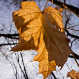 Dry autumn maple leaves Royalty Free Stock Photo