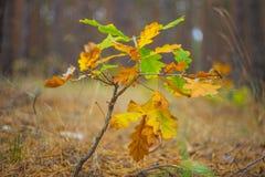 Dry autumn oak branch Stock Photo