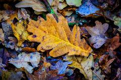 Dry autumn oak leaf Stock Image