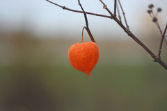 Dry autumn orange flower of  physalis. Autumn mood concept.  Physalis on the branch with gray background Stock Images