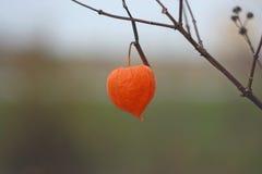 Dry autumn orange flower of  physalis. Stock Images