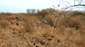 Dry autumn plant. On wind stock video footage