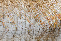 Dry autumn reeds Royalty Free Stock Image
