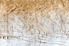 Dry autumn reeds wind Stock Image