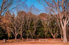 Dry Autumn tree and brawn grass in park, Narita, Japan. Dry Autumn tree and brawn grass lawn with benches in park, Narita, Japan, Horizontal shot Stock Images