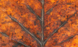Dry autumn tulip tree leaf background Stock Photo