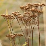 Dry plant with seeds in the city`s autumn park or in the garden. Dry autumn umbellate grass inflorescence on an abstract background royalty free stock photo
