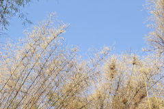 Dry bamboo leaves, against blue sky Stock Images