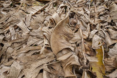 Dry banana leaf. Background and texture of dry banana leaf with brown color Stock Image
