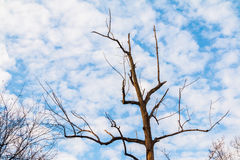 Dry bare tree and cloudy sky Stock Photography