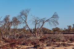 Dry bare tree on the shores of pink salt lake Kenyon. Native Aus Stock Photo